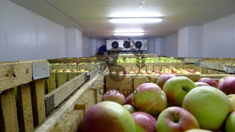 фото хранения яблок